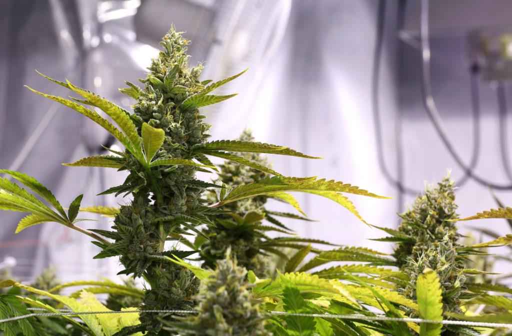 Primer plano de una planta de cannabis en flor. Parece estar cultivada en interior, en un entorno controlado. El fondo está borroso, pero muestra lo que parecen ser ventiladores y cables.