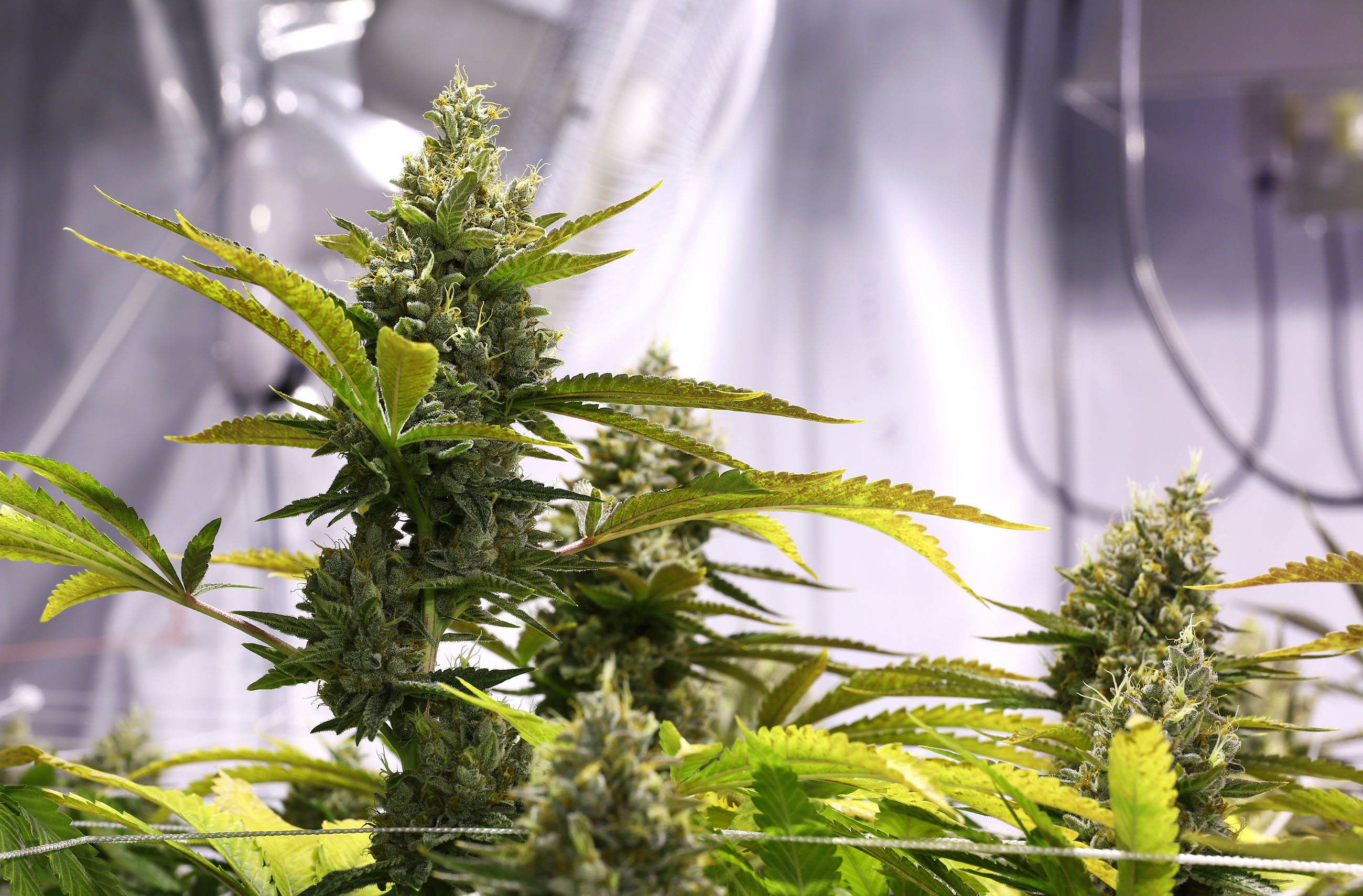 What Is The Difference Between Indoor And Outdoor Cannabis Seeds Sensi Seeds,Pantone Color Of The Year 2019 Clothing