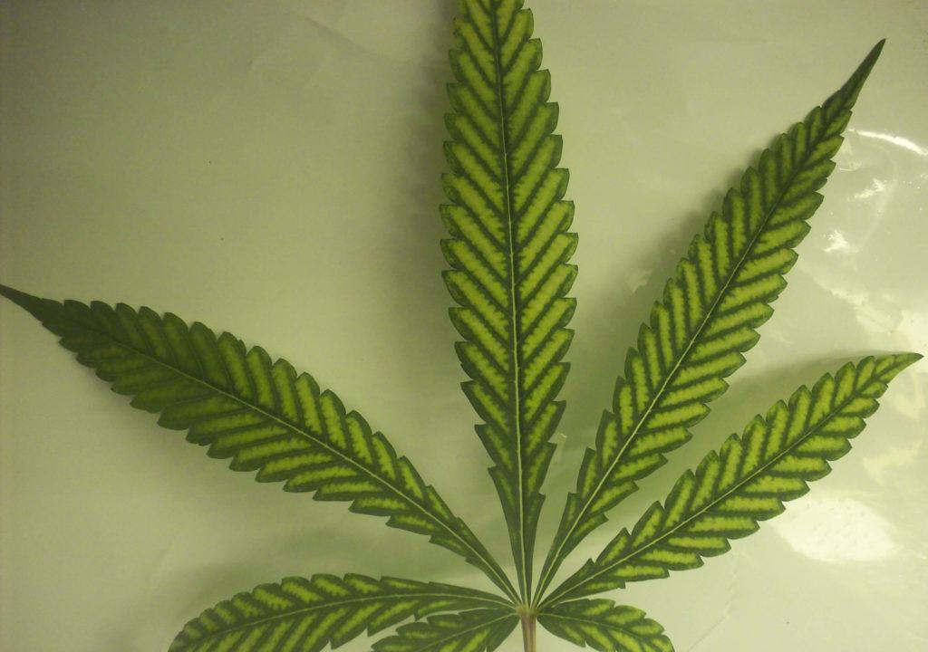 Gros plan sur une feuille de cannabis sur une surface blanche.