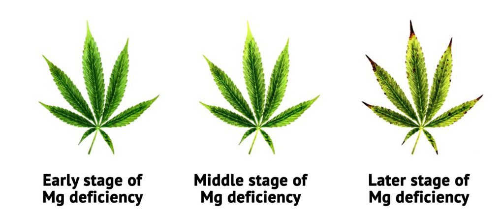 Three photographs of cannabis leaves showing early, middle and later stages of magnesium deficiency. The later stage of magnesium deficiency shows brown tips and yellowed leaves.