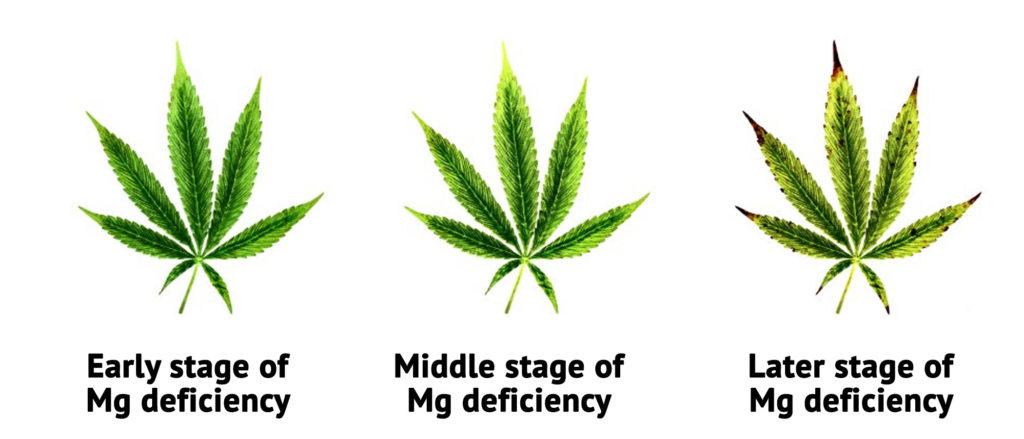 Drie foto's van cannabisbladeren in de begin-, midden- en eindfase van een magnesiumtekort. Bij de eindfase van magnesiumtekort zijn bruine uiteinden en vergeelde bladeren te zien.