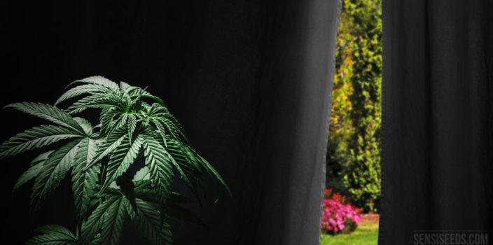 Comment forcer la floraison du cannabis cultivé en extérieur ?