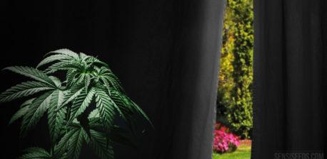 Bloei opwekken bij buitencannabis