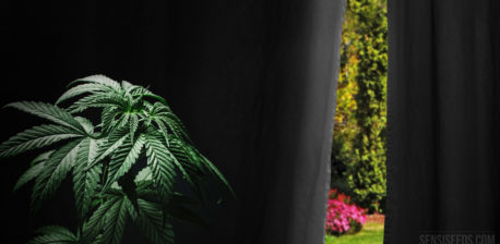 Cannabis plant in front of black curtain with view of garden behind curtain