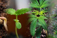 De levenscyclus van cannabis: van zaadje tot oogst