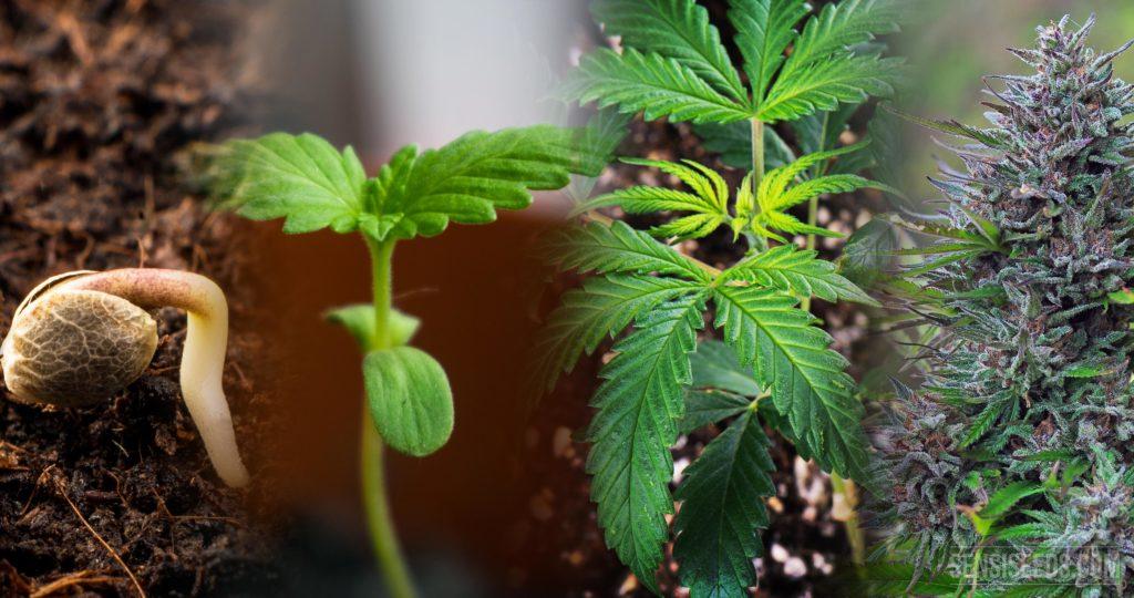 El Ciclo de Vida del Cannabis: De la Semilla a la Cosecha
