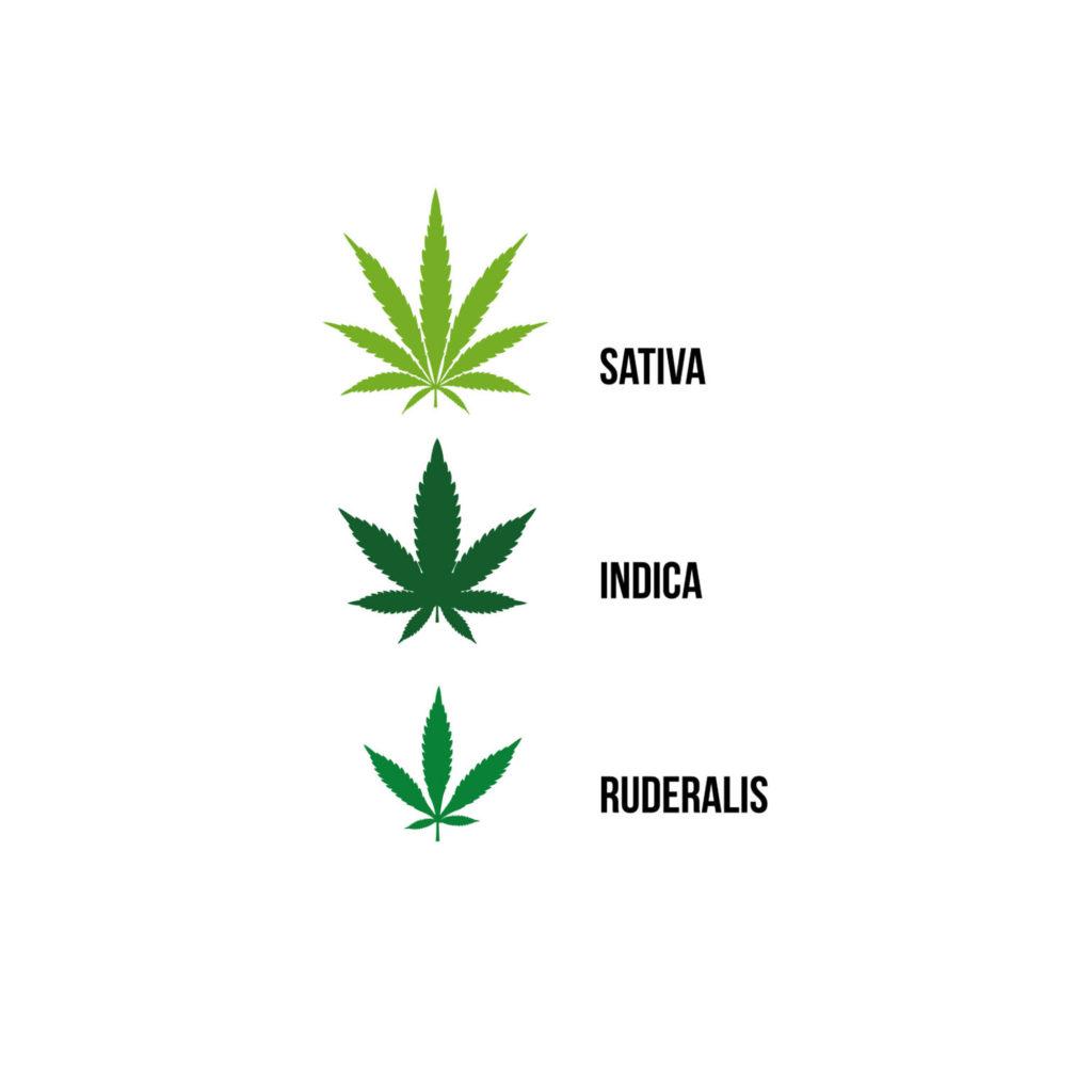 Een infographic waarop drie verschillende soorten cannabis eenvoudig en tweedimensionaal zijn weergegeven. De bovenste afbeelding is een sativa-blad. Het sativa-blad is dunner, lichter groen en heeft meer blaadjes. Daaronder staat een indica-blad. Het indica-blad is dikker, heeft minder blaadjes en is donkerder groen. Daar weer onder staat een ruderalis-blad. Het ruderalis-blad is middelgroen, kleiner en heeft minder blaadjes die ver uit elkaar staan.
