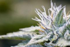 Een extreme close-up van een cannabisplant waarop de minuscule witte bolletjes trichomen die de plant bedekken, goed te zien zijn. Er zijn ook groene, paarse en oranje details te zien.