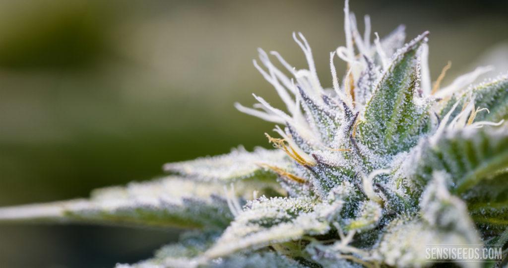 Extrem vergrößerte Nahaufnahme einer Cannabispflanze, auf der die kleinen weißen Kügelchen der Trichome, mit denen die Blüte bedeckt ist, gut zu sehen sind. Es sind ebenfalls grüne, violette und orangefarbene Highlights zu sehen.