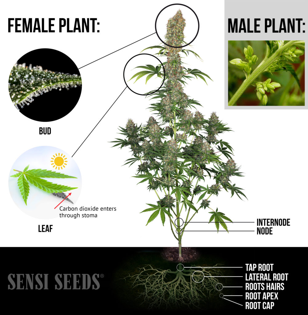 Infografía compleja que muestra una planta de cannabis hembra completamente desarrollada. Se resaltan los cogollos, las hojas y los nódulos, así como las raíces. Casi todos los elementos vuelven a aparecer en el diagrama. Los primeros planos contienen más datos. También hay un primer plano de una planta macho en la esquina superior derecha.