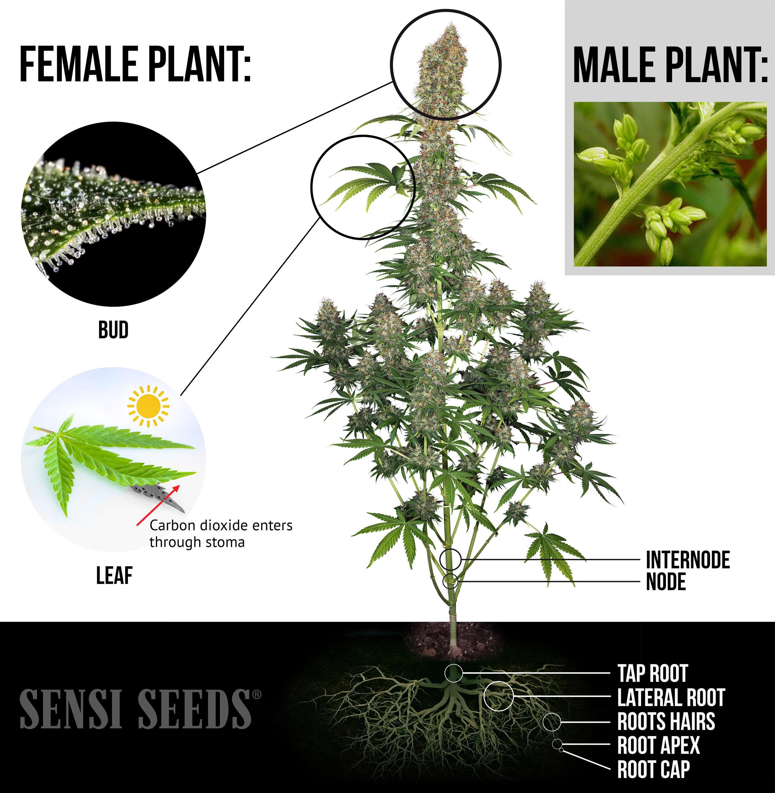Teile der Cannabispflanze