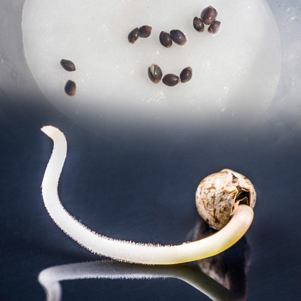Een close-up van de ontkiemingsfase van een cannabiszaadje. Op de onderste helft van de afbeelding is te zien hoe een wortel uit een zaadje komt. Daarboven staat een andere afbeelding van een groot aantal cannabiszaden die op een natte tissue liggen. De afbeeldingen gaan in elkaar over.