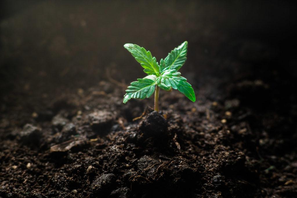 Nahaufnahme eines Cannabis-Sämlings. Ein kleiner Sämling einer Cannabispflanze, mit der typischen Blattform und Farbe, wächst aus der Erde heraus.