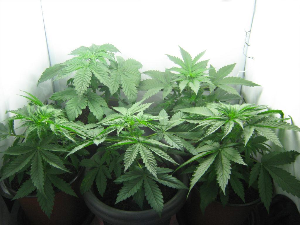 Une photographie montrant la phase de croissance ou phase de végétation de plants de cannabis. Les cinq plantes ont été empotées et ont poussé en intérieur, dans une pièce blanche à la luminosité abondante. Elles ne sont pas encore en floraison mais montrent plutôt leurs feuilles abondantes et caractéristiques.