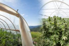 Montage photo de deux serres et de plants de cannabis en fleur sous un ciel limpide. Sur la gauche : une petite serre vue de côté, dotée d'une bâche de protection flexible ; sur la droite : une serre de plus grande taille, vue de face et dotée d'un toit rigide.
