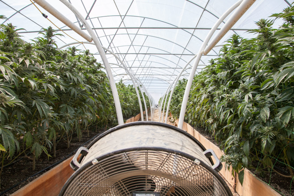 Indoor shot of a huge greenhouse with flowering cannabis plants. Along the centre of the greenhouse there is a walkway, at each end of which there are fans.