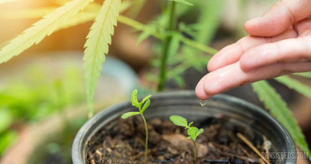 Cómo regar una planta de cannabis