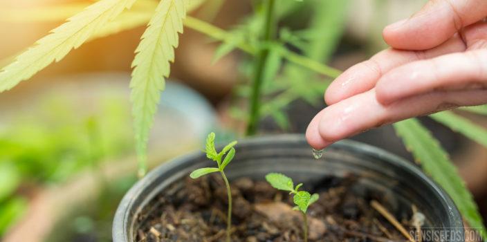 Hoe moet ik een cannabisplant water geven?