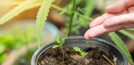 Wie bewässert man Cannabis-Pflanzen