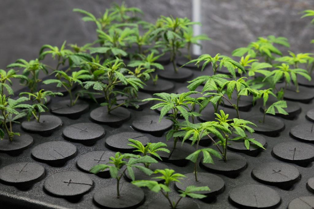Reguläre und feminisierte Cannabissamen – die Unterschiede