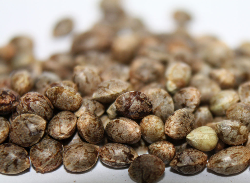 The difference between regular and feminized cannabis seeds – Which should you grow?