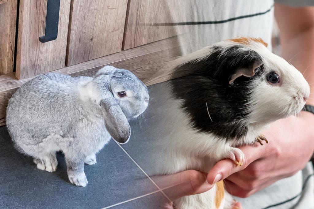 Fotografía del conejo Tosti (izquierda) y la cobaya Patty (derecha). Tosti tiene la piel de color gris y está sentado sobre el suelo. El pelaje de Patty es de color crema y negro, y alguien la está sujetando.