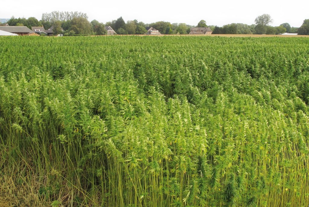 Photo of a hemp field with a few trees and houses in the background.