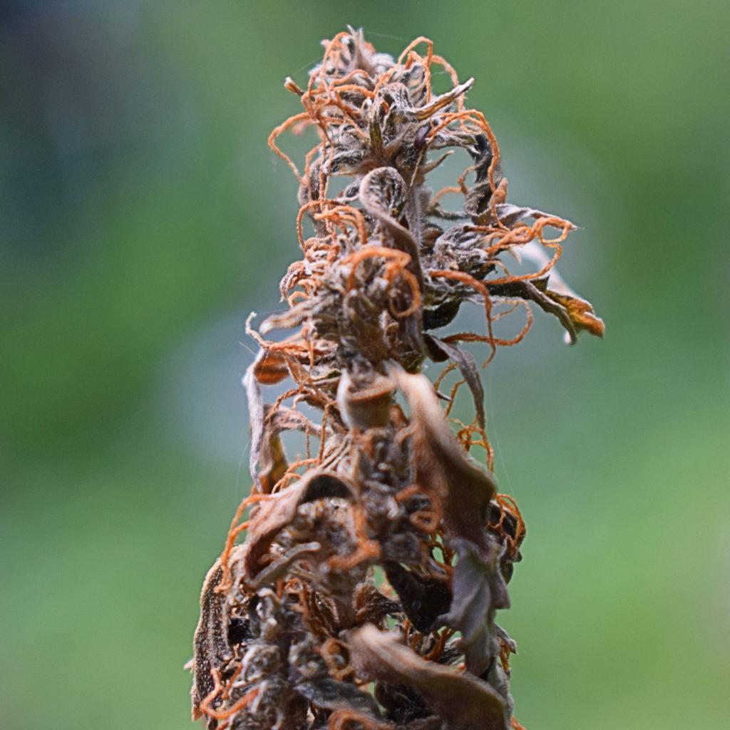 Nahaufnahme einer verfaulten, braunen Cannabisknospe.