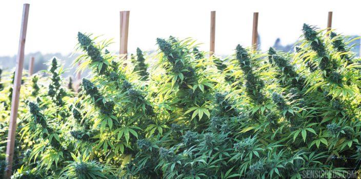 Een foto van een cannabisplantage waarop de bloementoppen van een aantal planten te zien zijn. In de plantage staan houten palen, waarschijnlijk om de planten te ondersteunen.