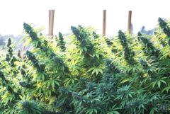 Foto einer Cannabisplantage auf der die blühenden Spitzen von mehreren Pflanzen zu sehen sind. In der Plantage befinden sich Stäbe aus Holz, wahrscheinlich dienen sie der Stabilisierung der Pflanzen.