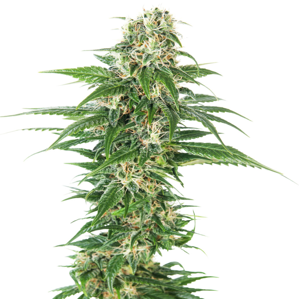 The Top Highest Yielding Strains Around – Sensi Seeds Blog