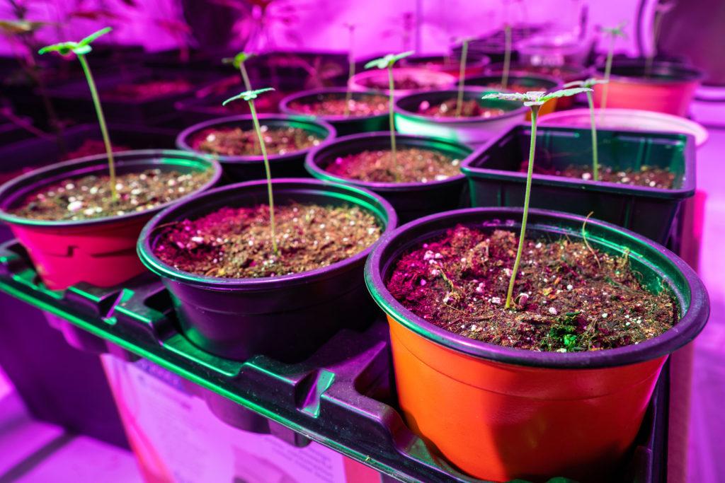 Cannabis-Sämlinge, LED-Beleuchtung