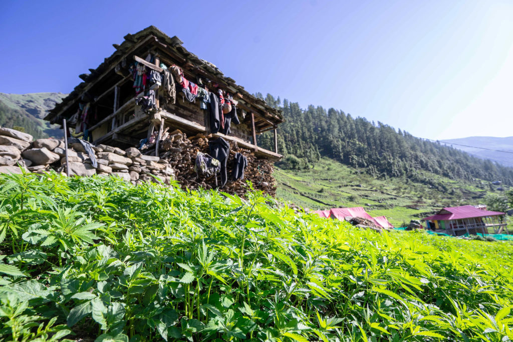 Landrassen-Cannabis, Malana, Indien