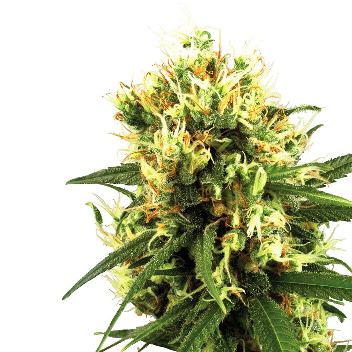 Die 5 besten Autoflowering-Samen von Sensi Seeds - Sensi Seeds
