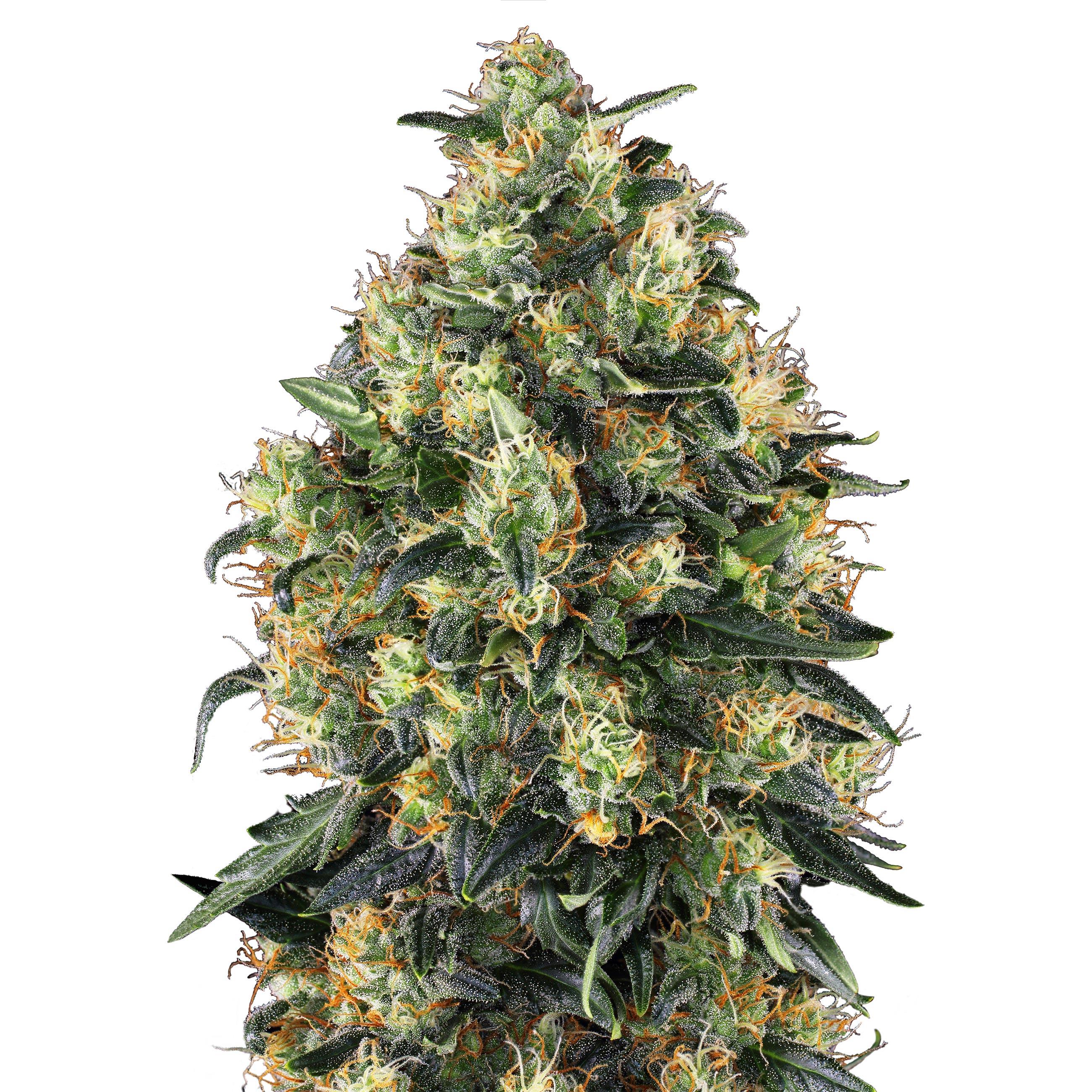 The 5 best autoflower cannabis seeds from Sensi Seeds