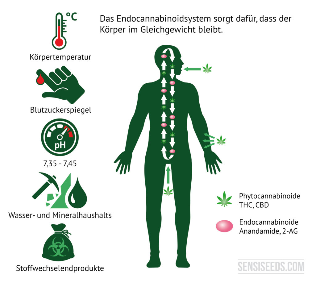 Grafik zur Veranschaulichung des Endocannabinoid-Systems. Auf der linken Seite der Grafik befinden sich Illustrationen, welche stellvertretend stehen für die Köpertemperatur, den Blutzuckerspiegel, den PH-Wert, den Wasser- und Mineralhaushalt sowie Stoffwechselendprodukte. Rechts davon befindet sich der Umriss eines Menschen. Phytocannabinoide gelangen durch den Mund und die Haut in den Körper, wie auf der Grafik zu erkennen ist.
