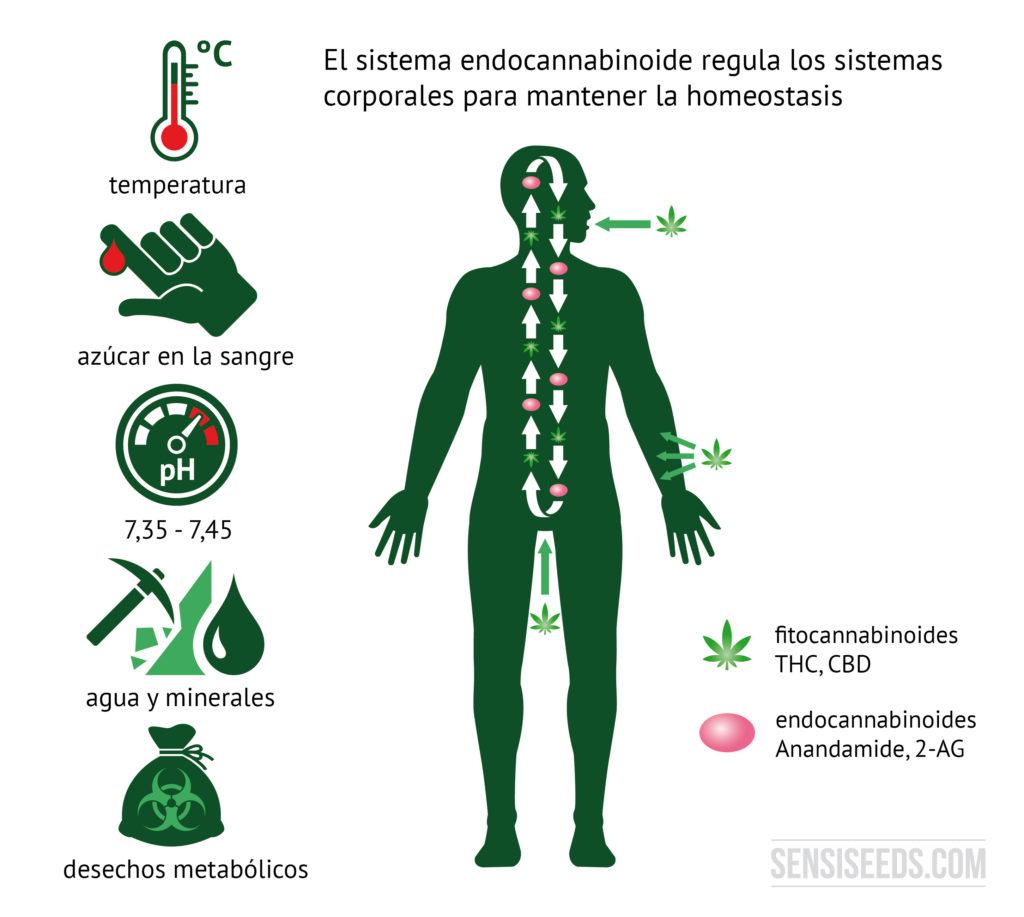 Diagrama explicativo del sistema endocannabinoide. En el lado izquierdo del diagrama encontramos ilustraciones que representan la temperatura corporal, el nivel de glucosa en sangre, el valor pH, la gestión del agua y los minerales y los productos metabólicos finales. A la derecha se ve la silueta de un ser humano. Los fitocannabinoides entran en el cuerpo a través de la boca y la piel, tal y como puede verse en el diagrama.