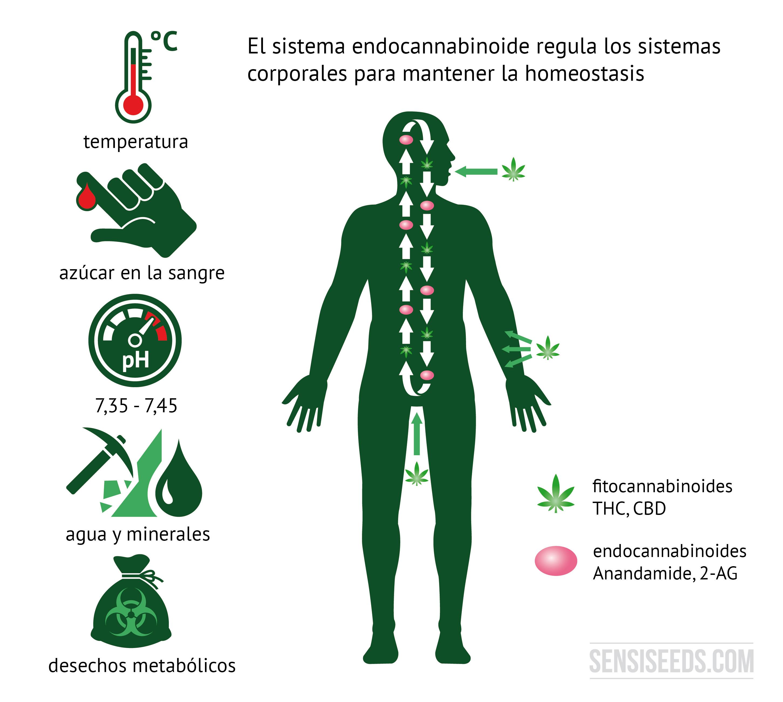 Qué es el sistema endocannabinoide y cómo funciona?