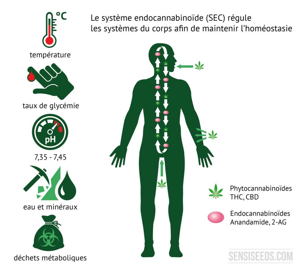 Schéma explicatif du système endocannabinoïde. On voit, sur la gauche du schéma, des illustrations symbolisant la température du corps, les taux de glycémie, le taux de pH du sang, les concentrations d'eau et de minéraux dans le corps ainsi que les déchets métaboliques. La silhouette d'un homme est tracée sur la droite. Le schéma nous montre que les phytocannabinoïdes pénètrent dans le corps par la voie orale et cutanée.