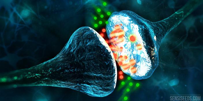 Image d'une simulation par ordinateur sur laquelle on peut voir deux neurones entre lesquels s'intercalent des points rouges et verts pouvant représenter des phytocannabinoïdes ou des endocannabinoïdes.
