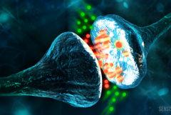 Ein Bild aus einer Computeranimation auf dem zwei Neuronen zu sehen sind. Dazwischen befinden sich grüne und rote Punkte; es könnte sich um Phytocannabinoide und Endocannabinoide handeln.