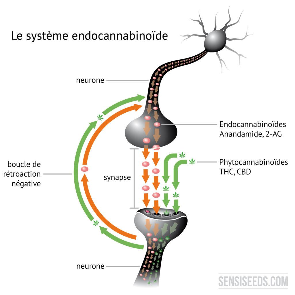 Schéma montrant une synapse connectant deux neurones l'un à l'autre et engendrant une boucle de rétroaction négative, essentielle pour le système endocannabinoïde.