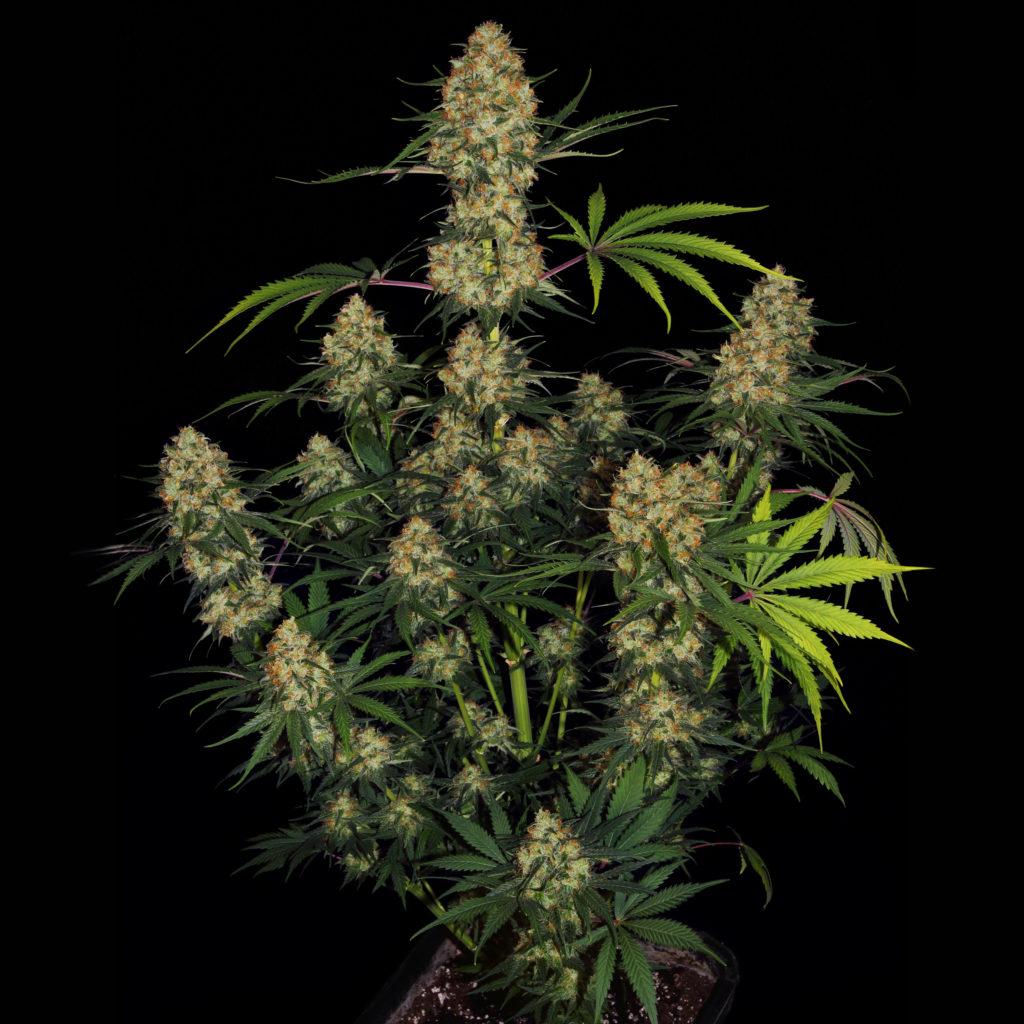 Foto van een bloeiende plant van de cannabissoort Hindu Kush voor een zwarte achtergrond.