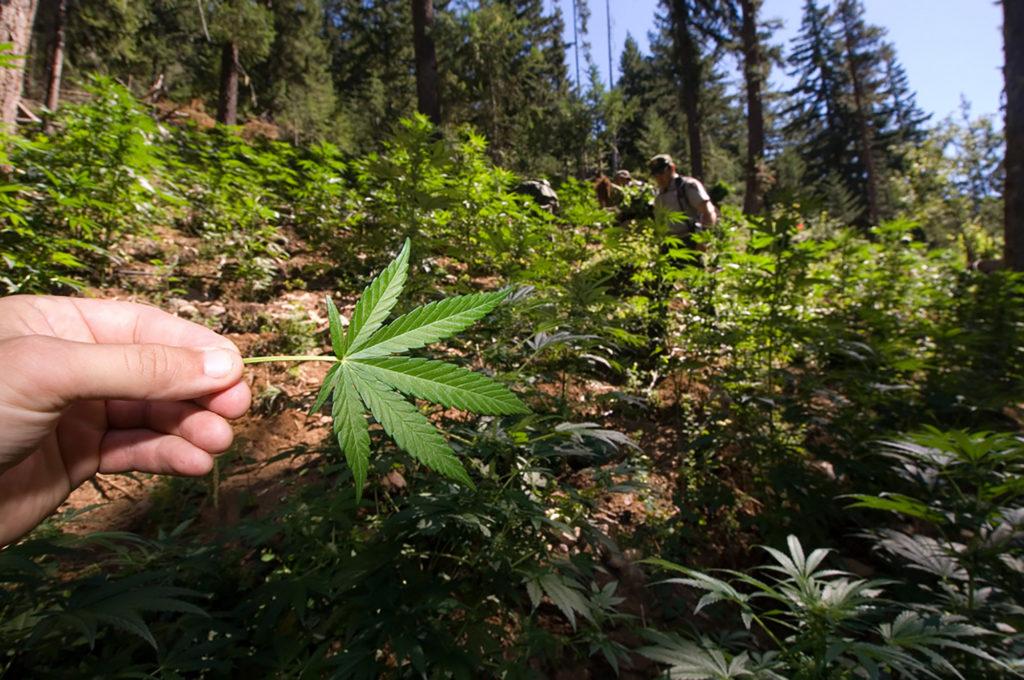 Die Globalisierung von Cannabis – Sensi Seeds Blog