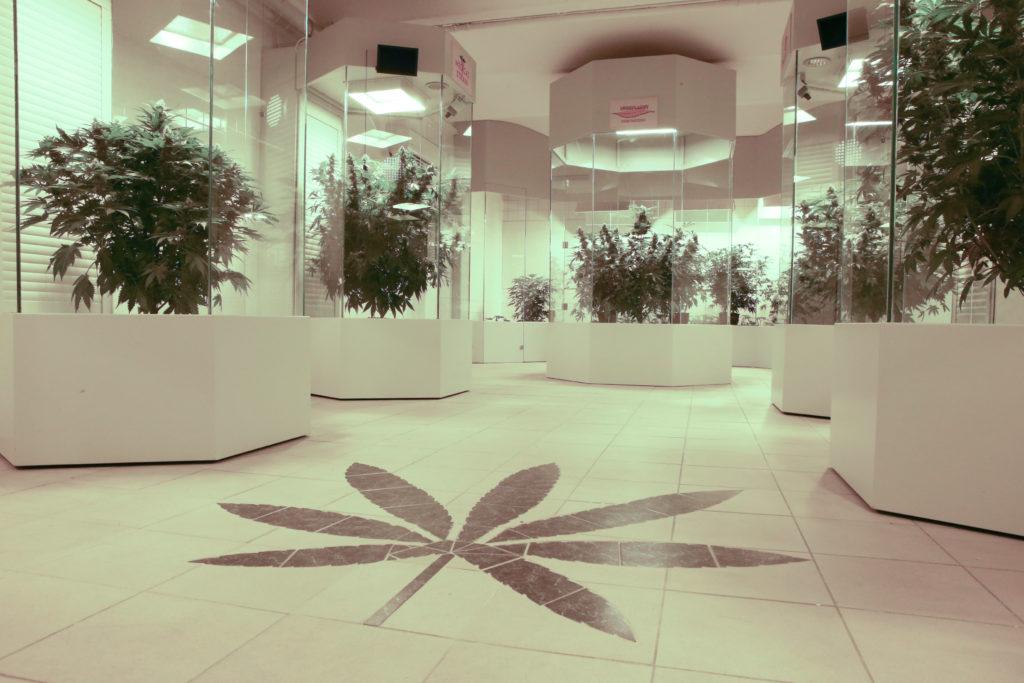 Foto der Hemp Embassy, die sich an der Wiener Esterhazygasse 34 befindet. Auf dem Foto sind große Cannabispflanzen in Vitrinen zu sehen. Die Bodenplatten sind verziert mit einem Cannabisblatt.