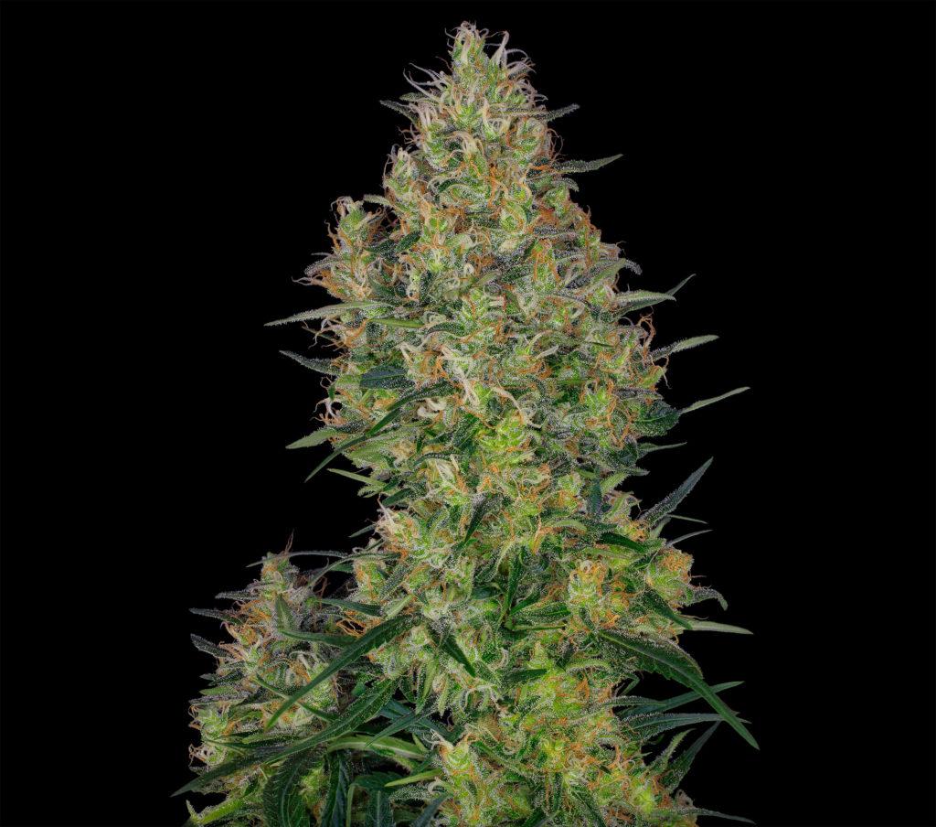 """Nahaufnahme einer blühenden Spitze der Cannabissorte """"Shiva Skunk"""" vor schwarzem Hintergrund."""