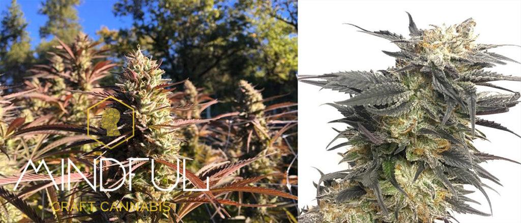 Deux photos de cannabis Nepalese Kush commercialisé sous le nom de « Craft Cannabis » (cannabis artisanal) : à gauche, des plants en fleur qui poussent à l'air libre, et à droite, un gros plan d'une branche en fleur sur fond blanc.