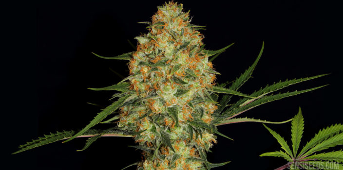 Close-up of the Hindu Kush cannabis strain against a black background. In the middle, a magnificent bud of the plant is depicted, while at the bottom right there is a succulent green cannabis leaf in front of the Sensi Seeds logo.