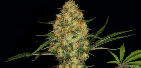 Gros plan sur une branche de cannabis Hindu Kush sur fond noir. Une magnifique tête figure au milieu de la photo et on peut apercevoir, en bas à droite, une belle feuille de cannabis vert brillant sur laquelle le logo Sensi Seeds est superposé.