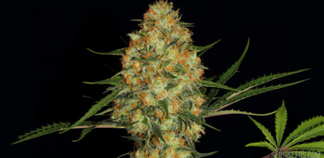Nahaufnahme der Cannabissorte Hindu Kush vor schwarzem Hintergrund. In der Mitte ist eine prächtige Blüte der Pflanze zu sehen, rechts unten befindet sich ein saftig grünes Cannabisblatt vor dem Logo von Sensi Seeds.
